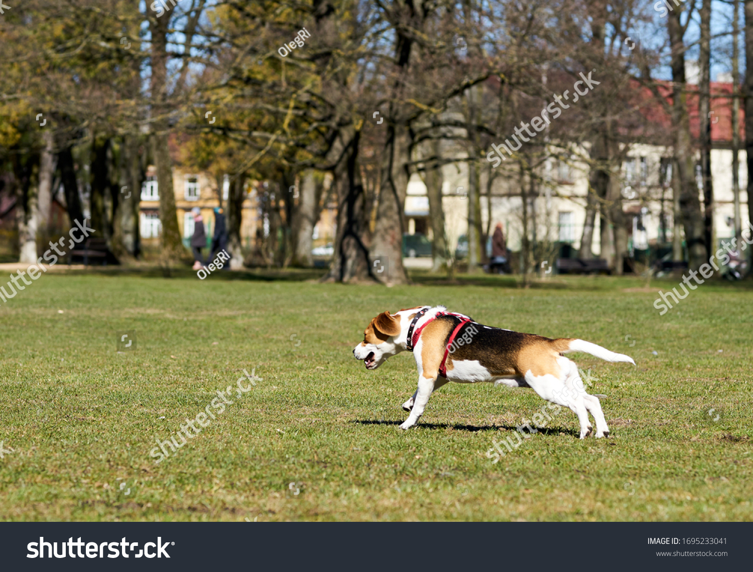 Show dog of breed of beagle on a natural green background #1695233041