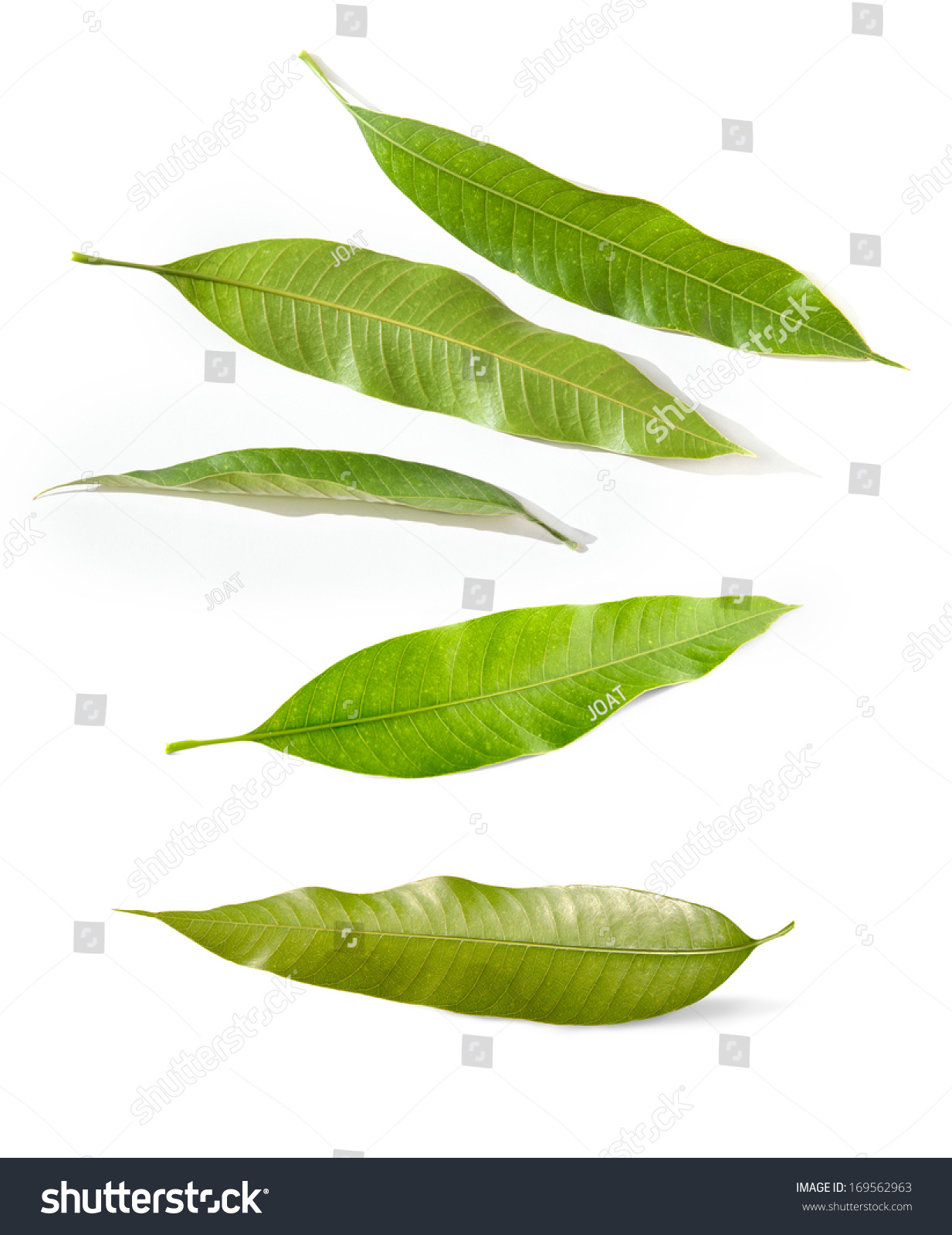 Isolated Green Mango Leaves Cut Out Preview Save To A Lightbox Isolated  Green Mango Leaves Cut