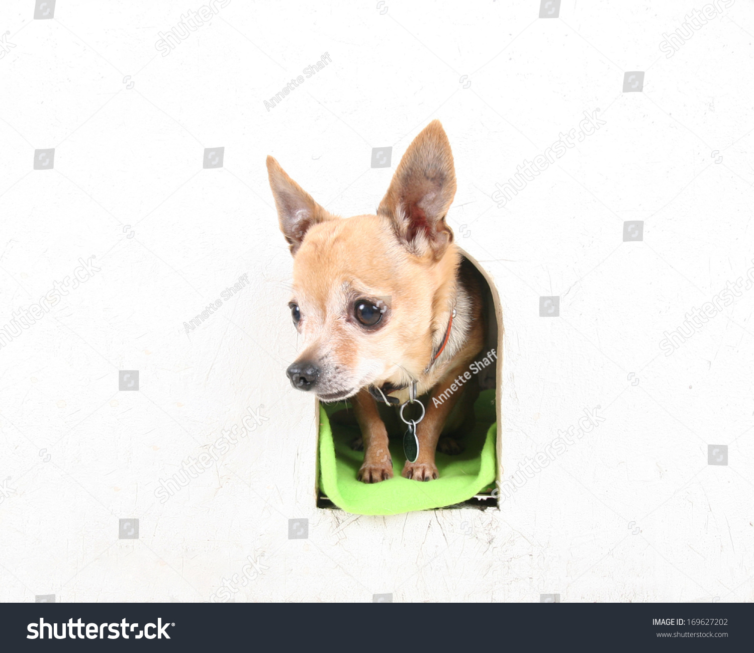 chihuahua dog houses a cute chihuahua in a dog house stock photo 169627202 8644