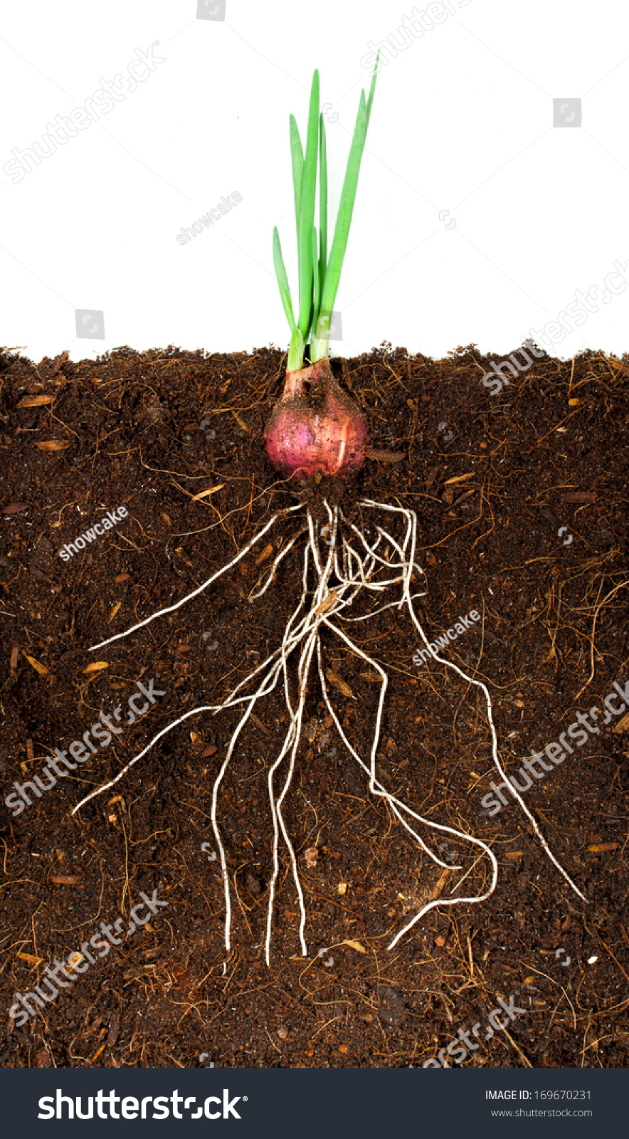 onion plant clip art � cliparts
