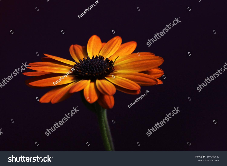 Orange and yellow Mittagsblume, (Delosperma)