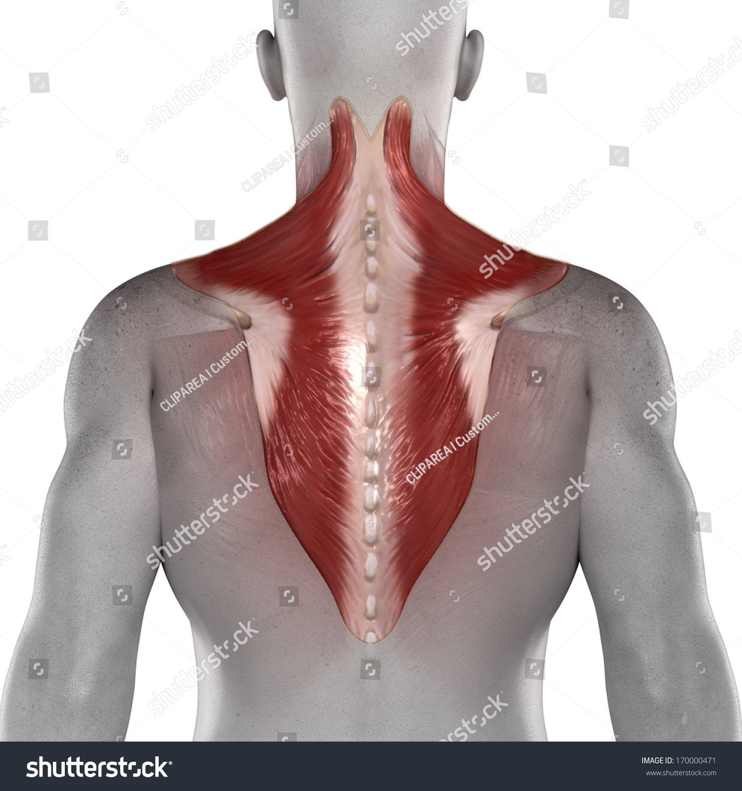 Trapezius Male Muscles Anatomy Posterior View Stock Illustration ...