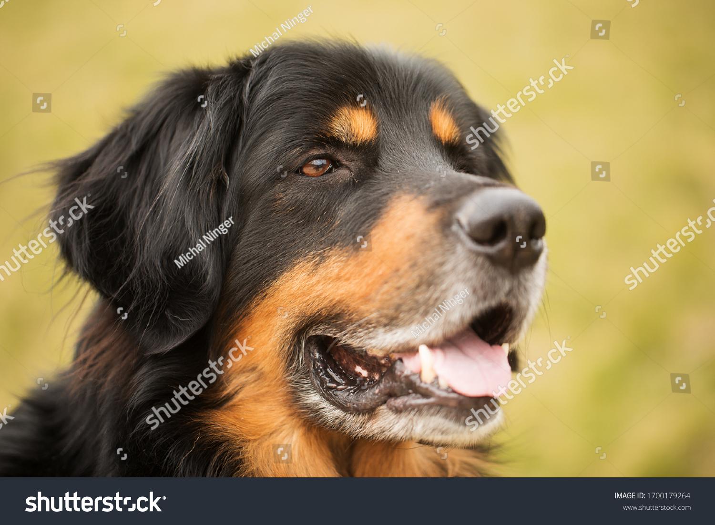 stock-photo-happy-dog-hovawart-portrait-