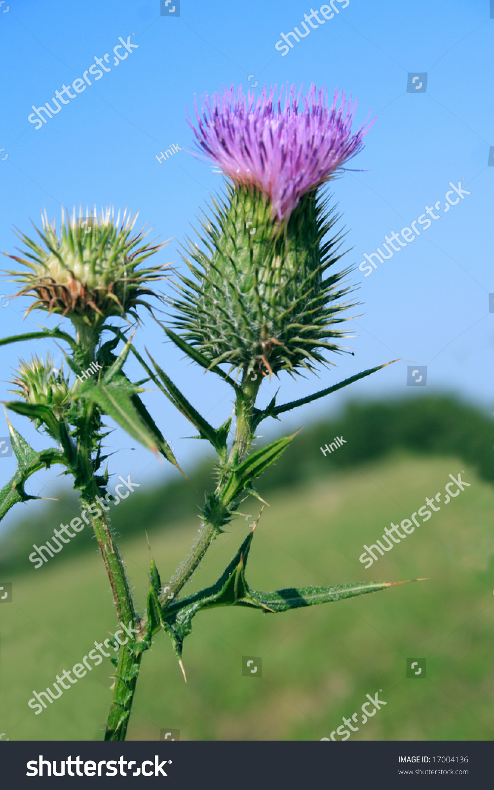 Thistle symbol scotland close stock photo 17004136 shutterstock thistle symbol of scotland close up buycottarizona Image collections