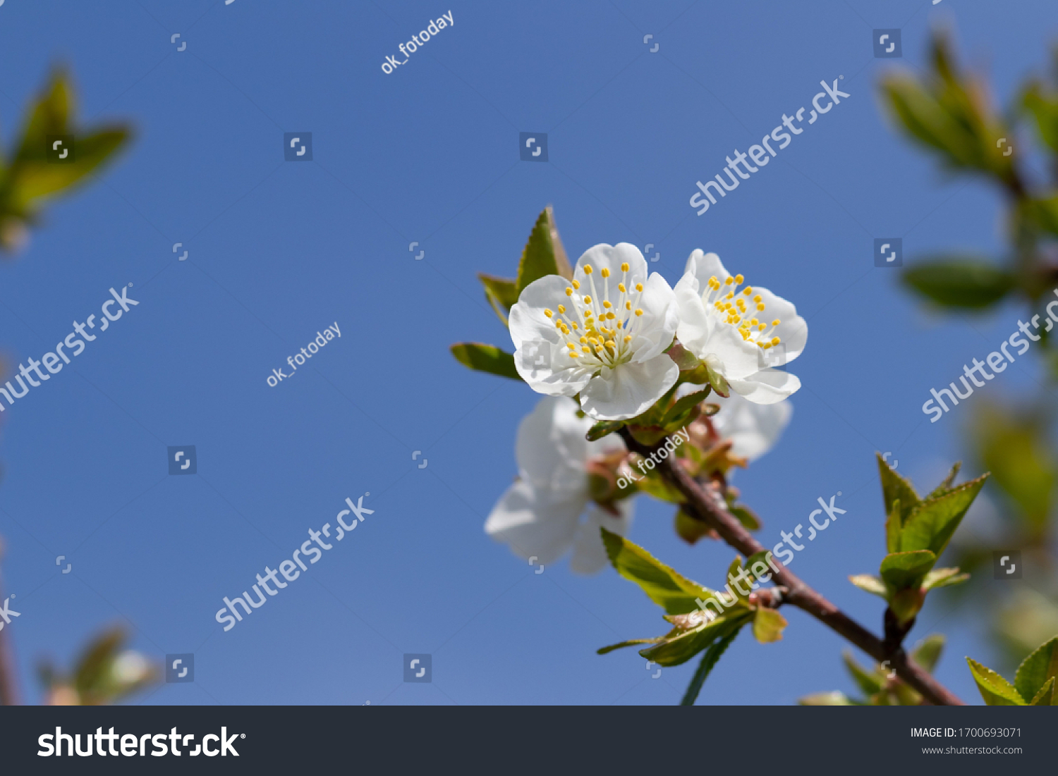 stock-photo-white-inflorescence-on-a-che