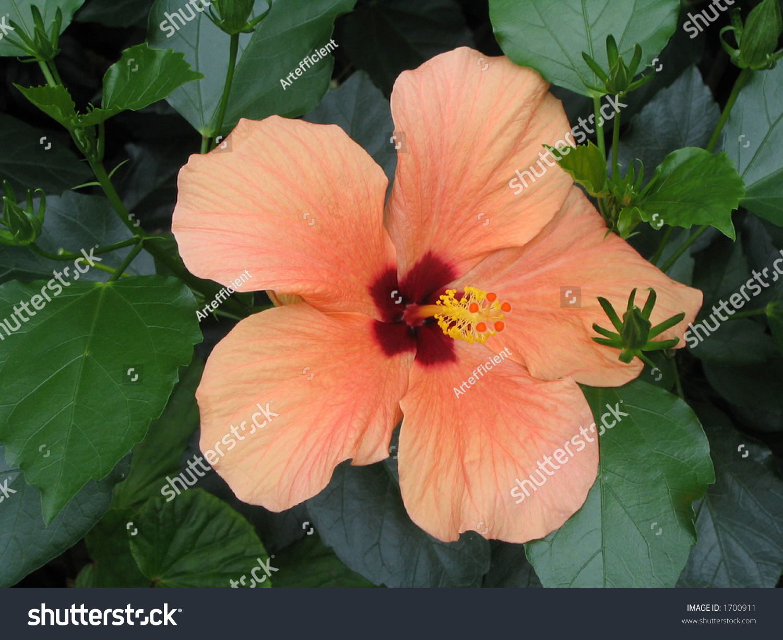 Peach Hibiscus Flower Postcard Stock Photo Edit Now 1700911
