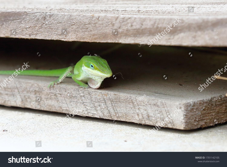 stock-photo-a-gecko-gekkonidae-displayin