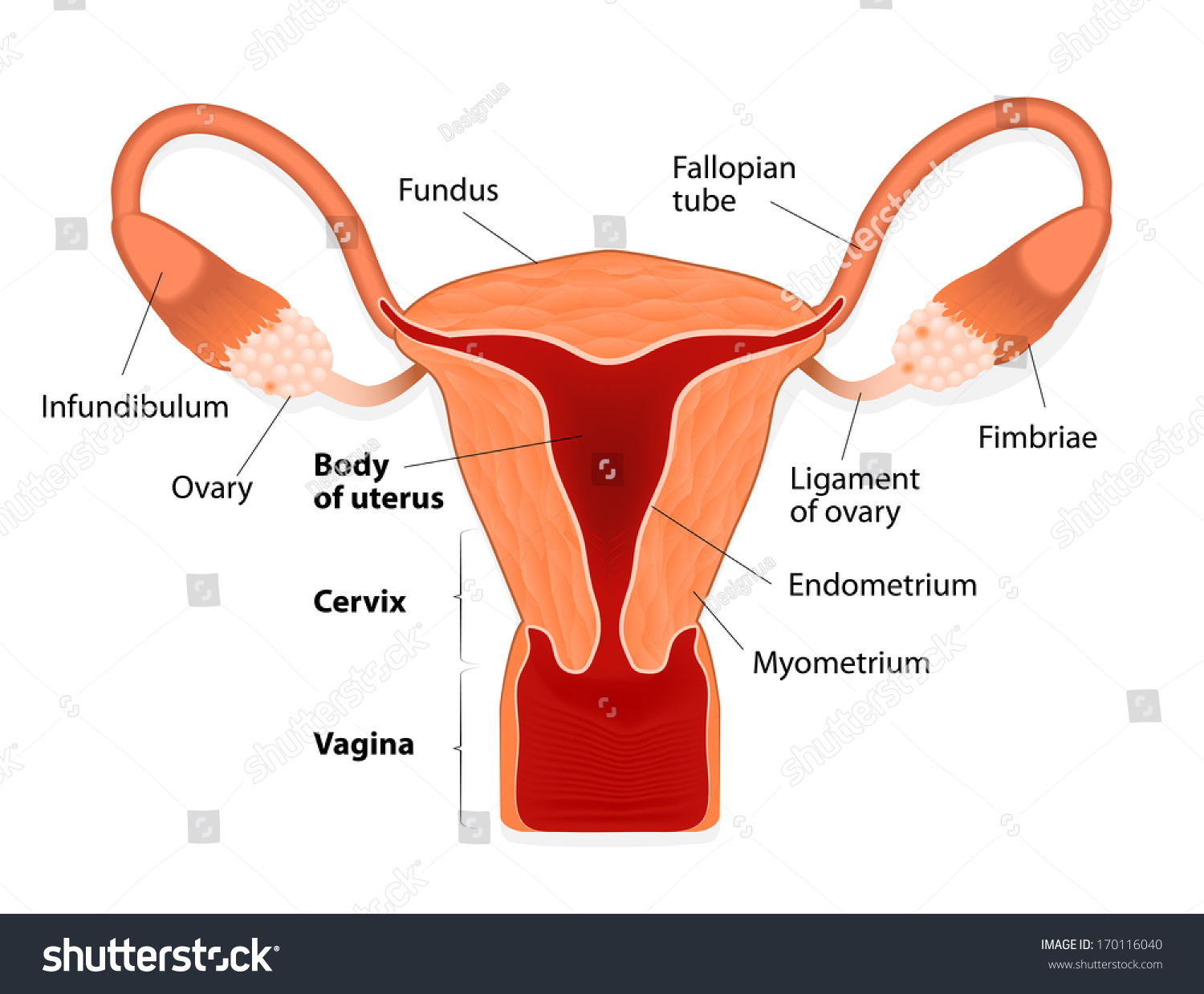 Uterus Womb Female Reproductive System Uterus Stock Illustration ...