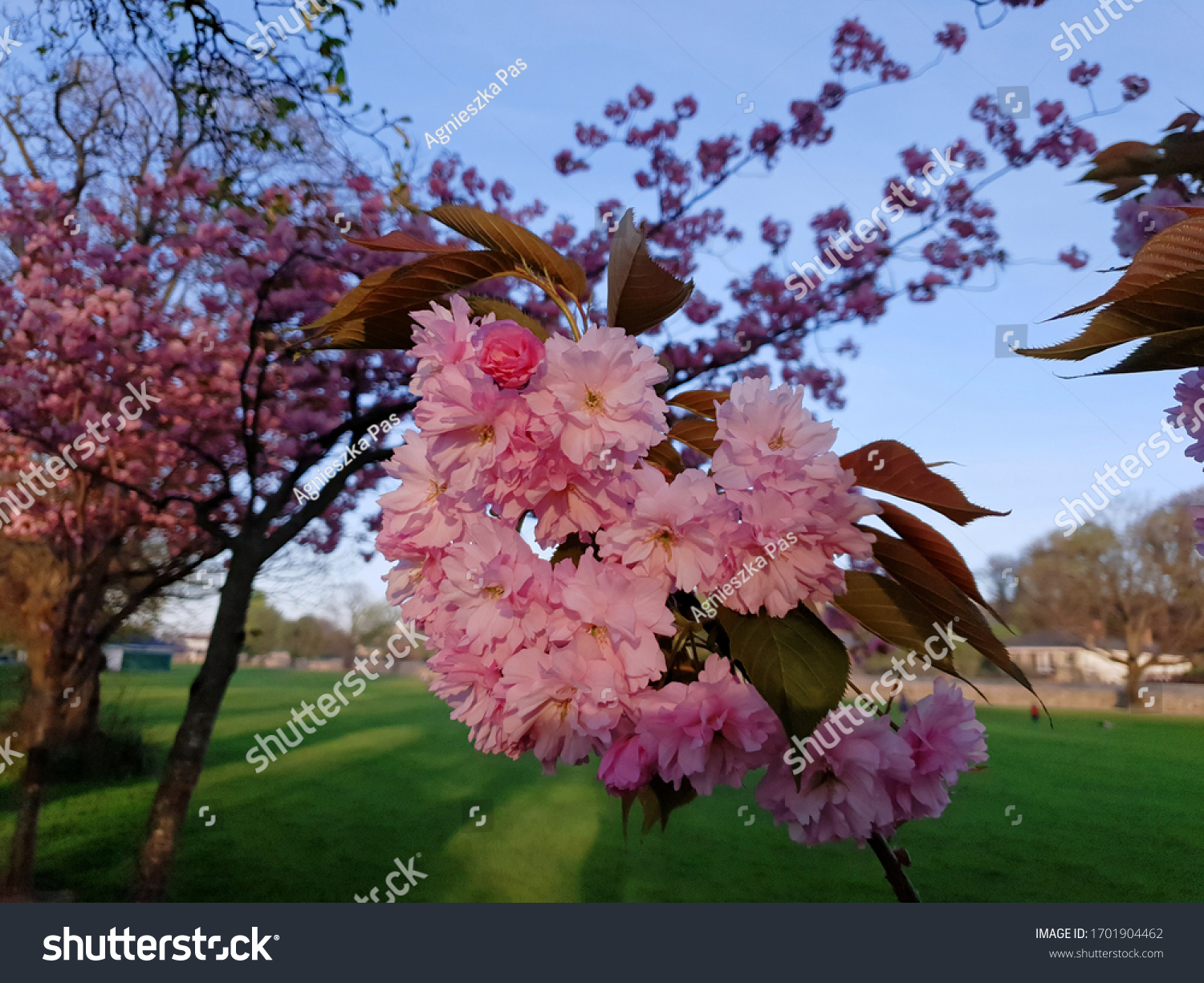 Selective focus shot of pink double cherry blossoms (Prunus serrulata Kanzan) in park illuminated by evening sunlight. Blue sky.