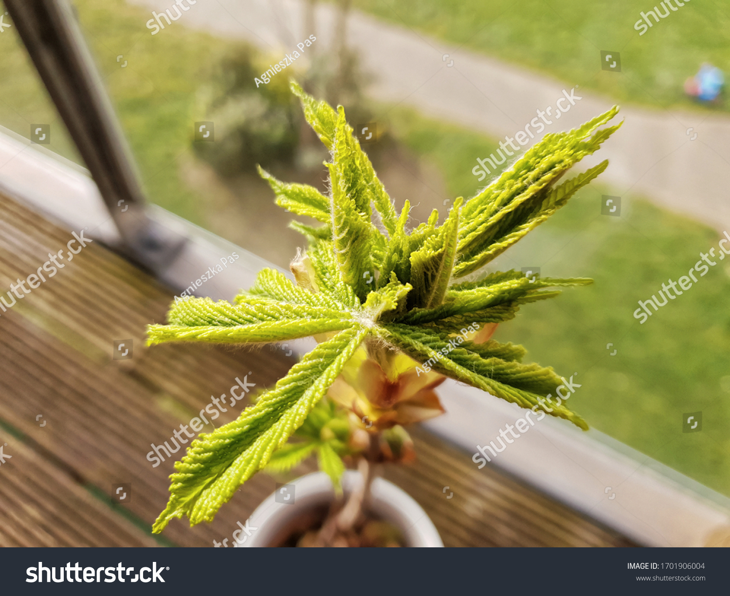Closeup view of young green chestnut leaves in the sunlight. Chestnut tree in a pot. Creative idea for balcony garden. View from above.