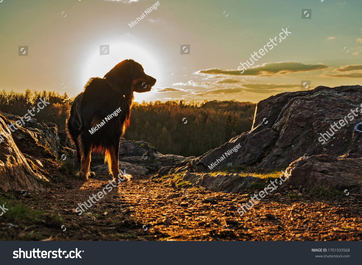 stock-photo-dog-hovawart-stands-against-