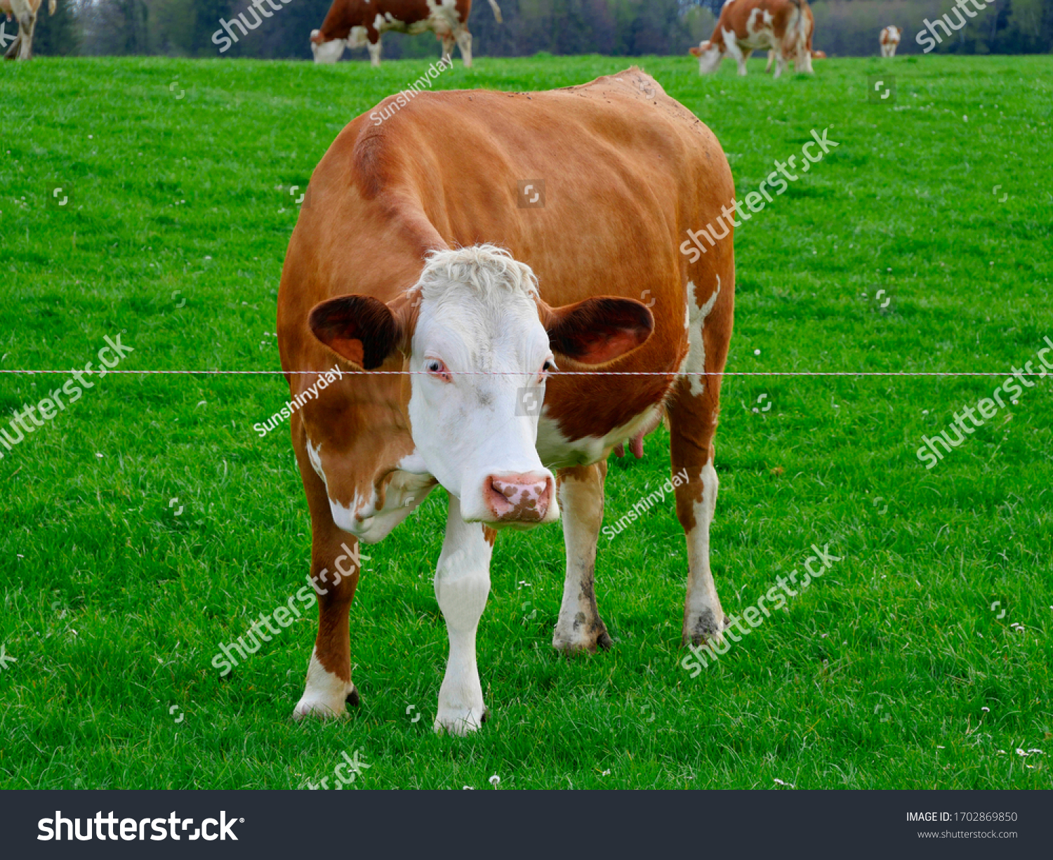 stock-photo-happy-cows-on-a-green-meadow
