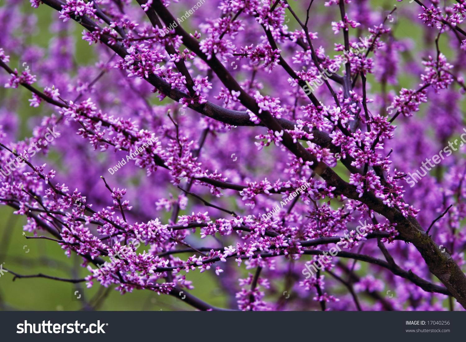 Purple Flowering Tree Stock Shutterstock