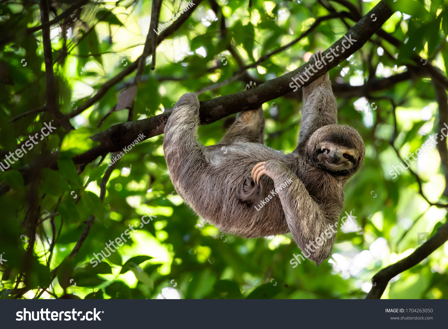 Cute sloth hanging on tree branch with funny face look, perfect portrait of wild animal in the Rainforest of Costa Rica scratching the belly, Bradypus variegatus, brown-throated three-toed sloth, #1704263050