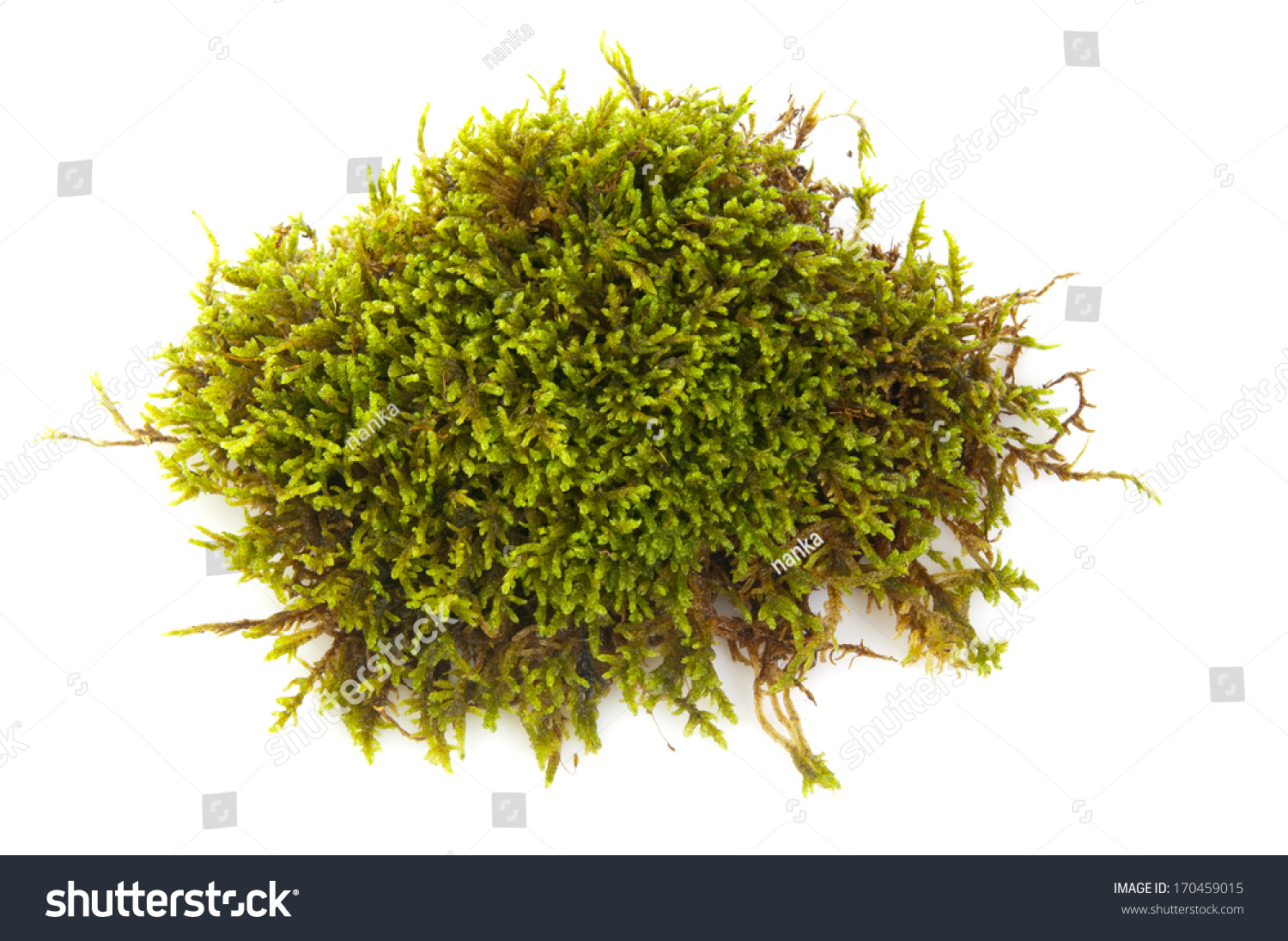 determination of green moss bryophyta extract Moss (bryophyte) mediated synthesis and characterization of silver nanoparticles from campylopus flexuosus (hedw) bird 1avimala, 1ssahaya sathish, 1tthamizharasi, 1rpalani.