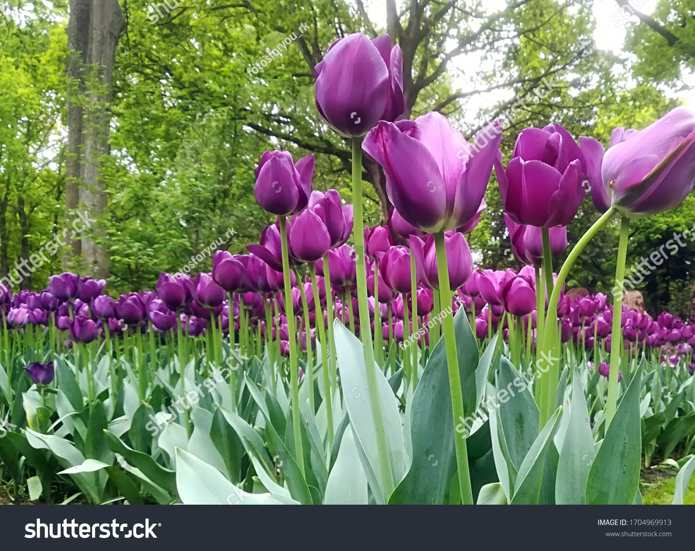 Purple tulip field in spring in holland