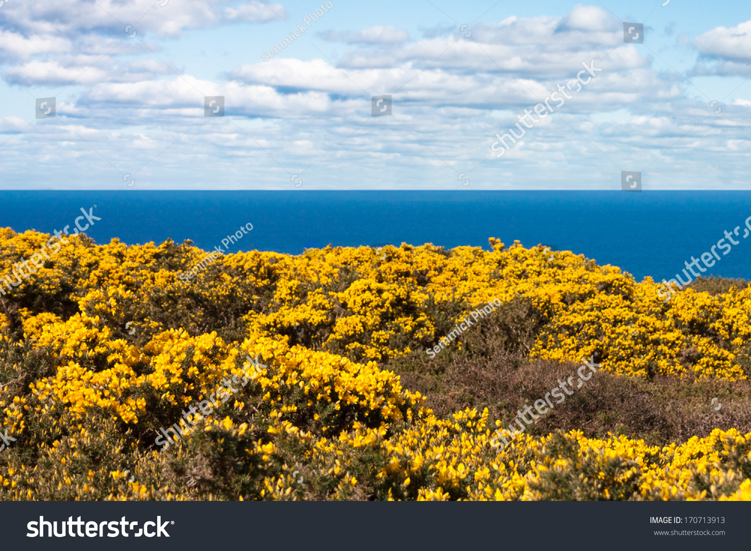 Yellow flowers on howth cliffs ireland stock photo 170713913 yellow flowers on howth cliffs in ireland against a cloudy deep blue sky mightylinksfo Images