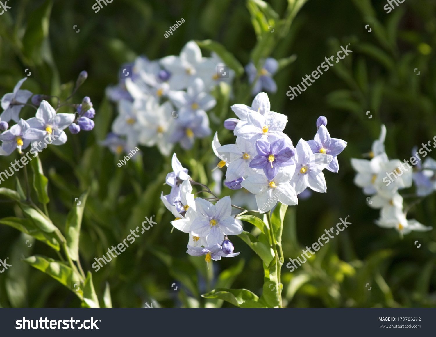 Delicate pale blue flowers lycianthes rantonnetii stock photo edit delicate pale blue flowers of lycianthes rantonnetii blue potato bush of the solanum family izmirmasajfo