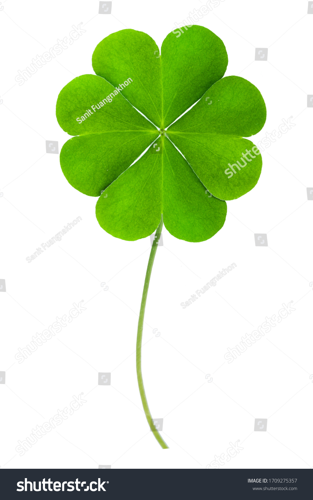 good luck Green clover four leaf isolated on white background. This has clipping path. #1709275357