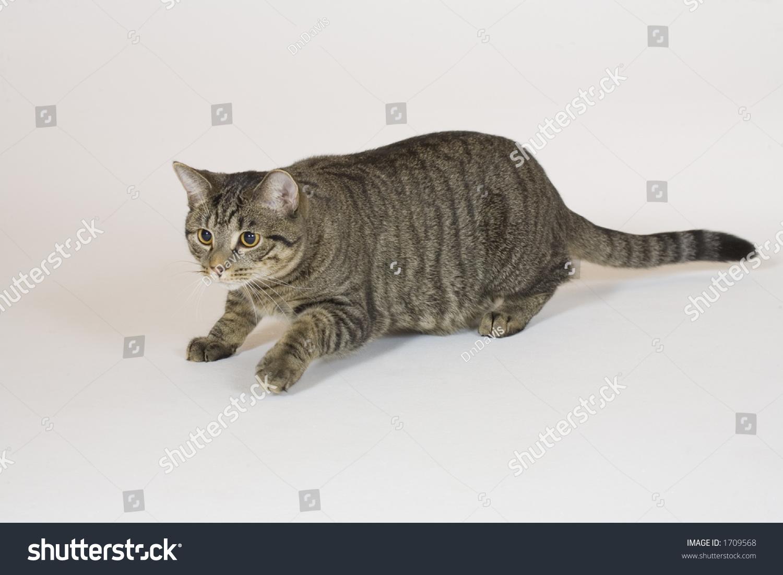 persian kitten texas