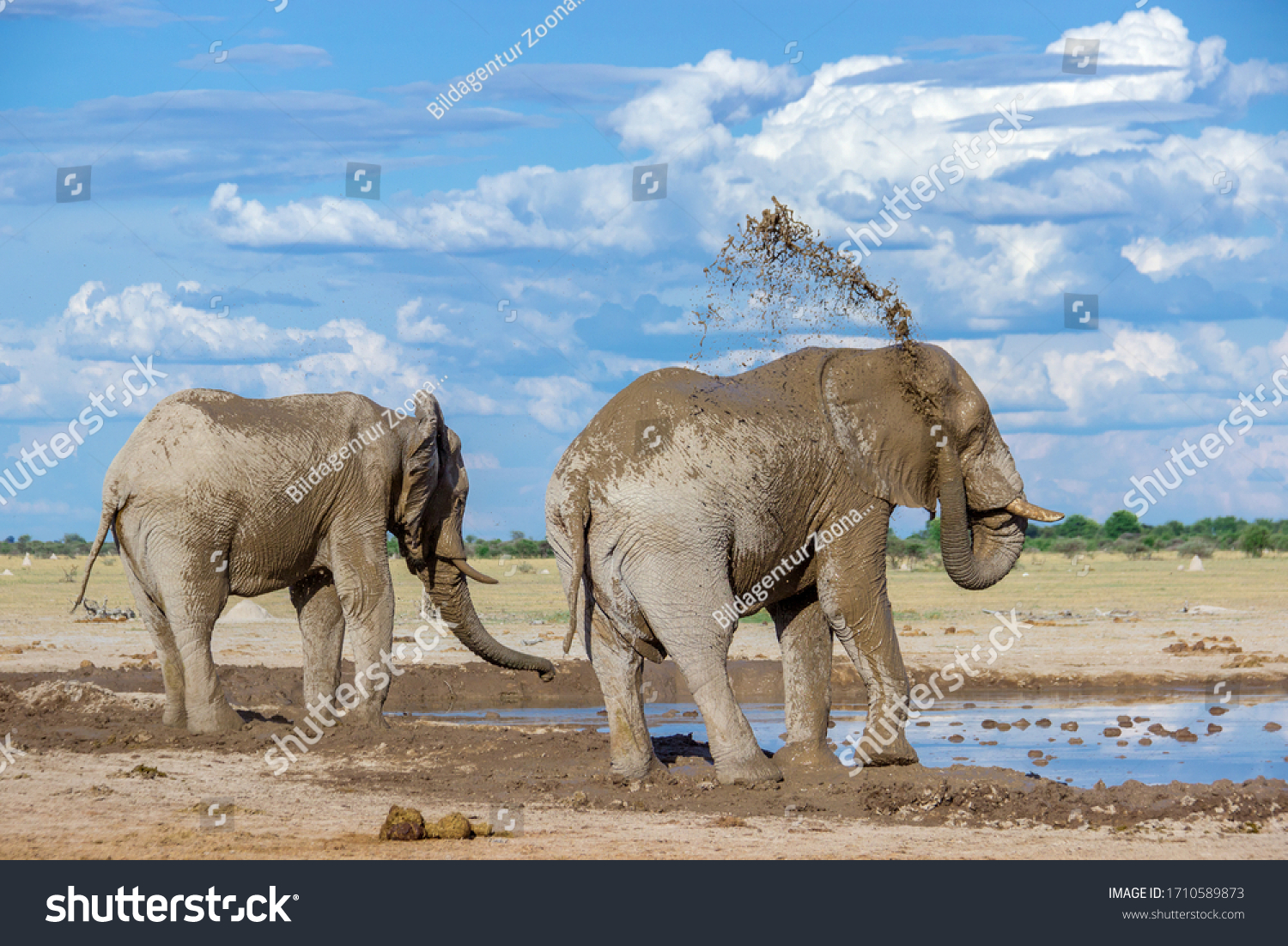 Elephant tossing mud on its back #1710589873