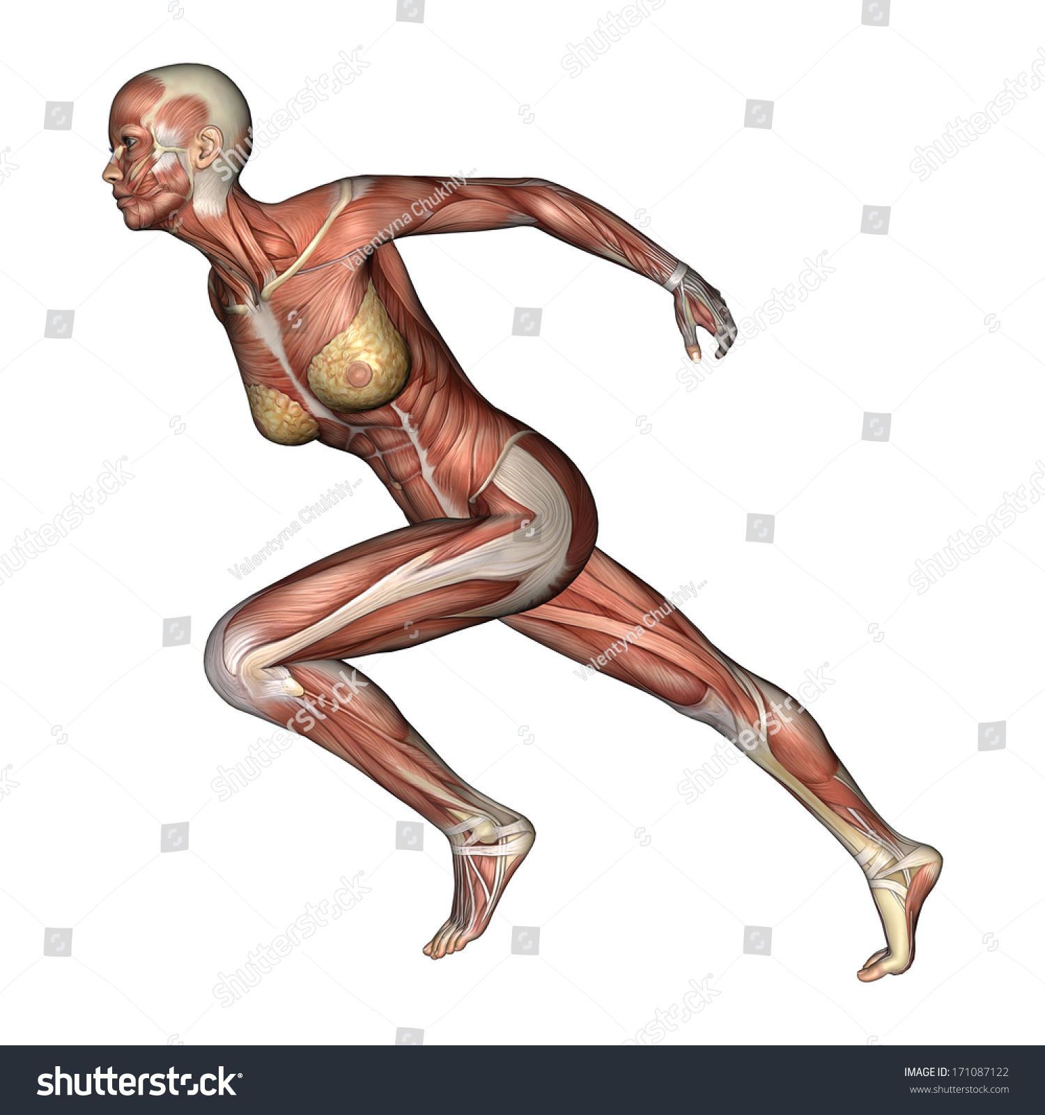 3d Digital Render Of A Running Female Anatomy Figure With Muscles