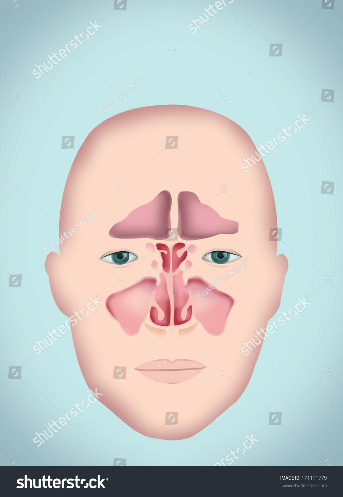 Sinus Diagram Human Anatomy Without Labels Stock Illustration ...