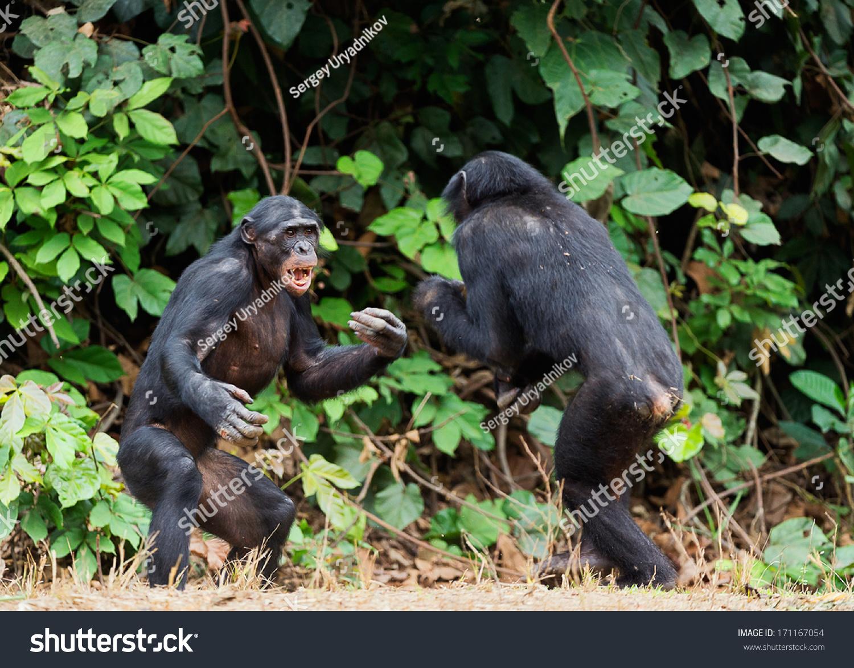 Gorilla fighting human