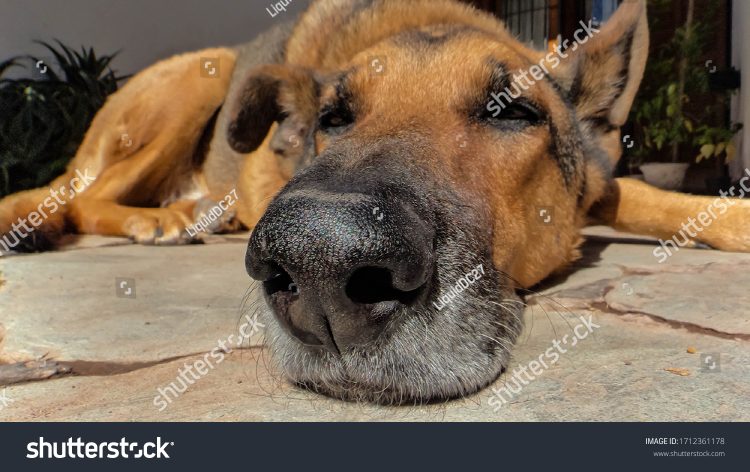 Close up of an Old doog sleeping on the floor, its snout is full of gray hair