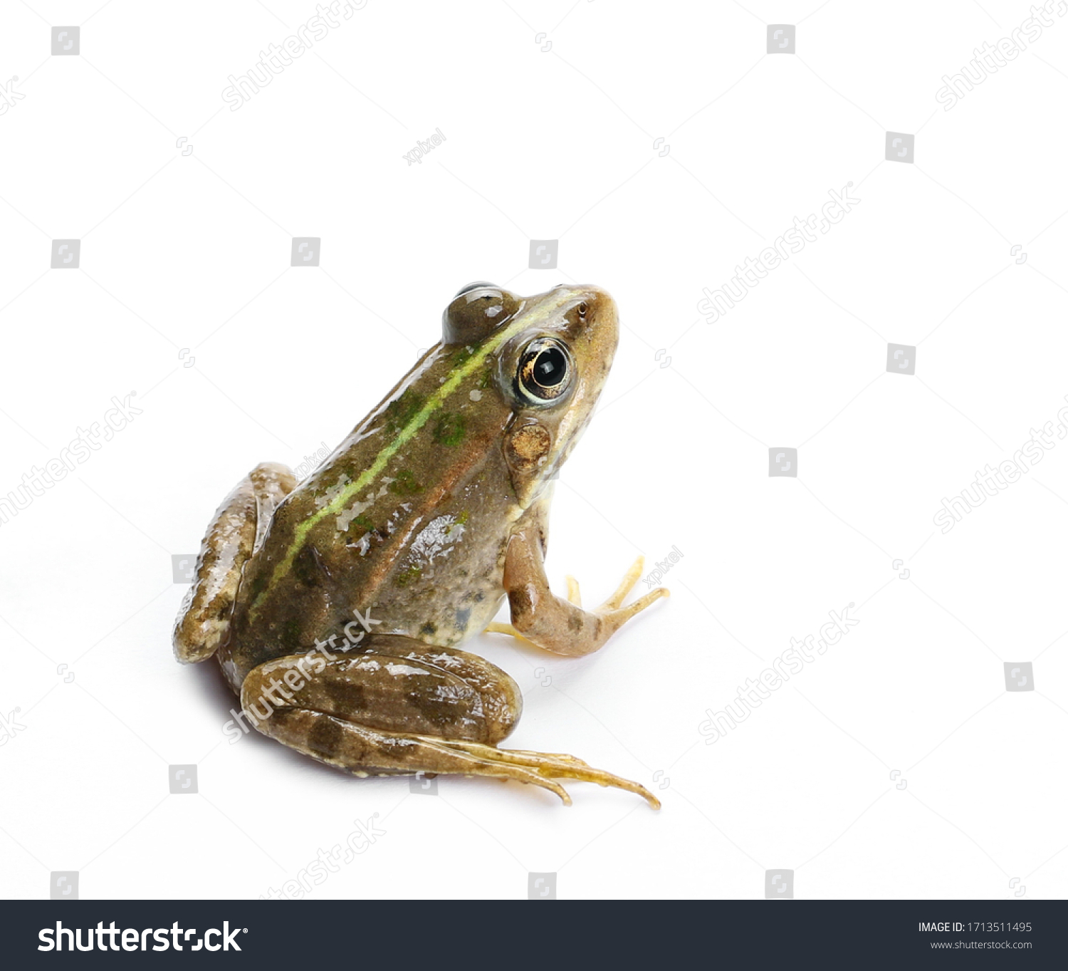 Young Marsh Frog isolated on white background, Pelophylax ridibundus #1713511495