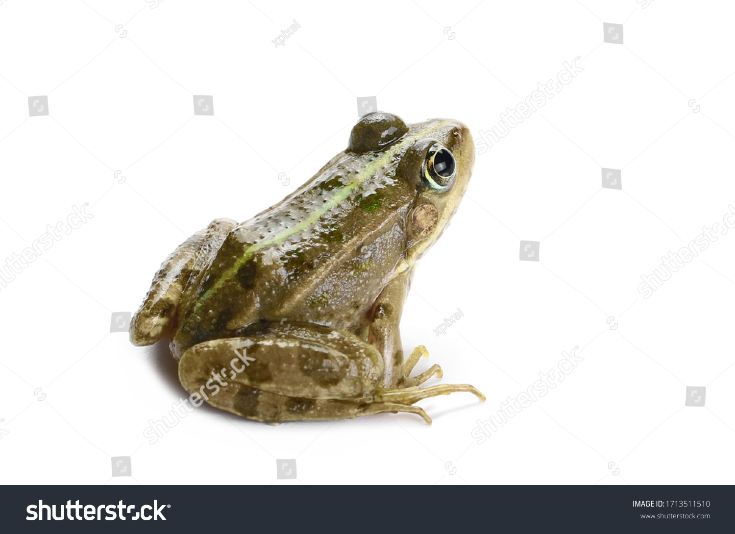Young Marsh Frog isolated on white background, Pelophylax ridibundus #1713511510