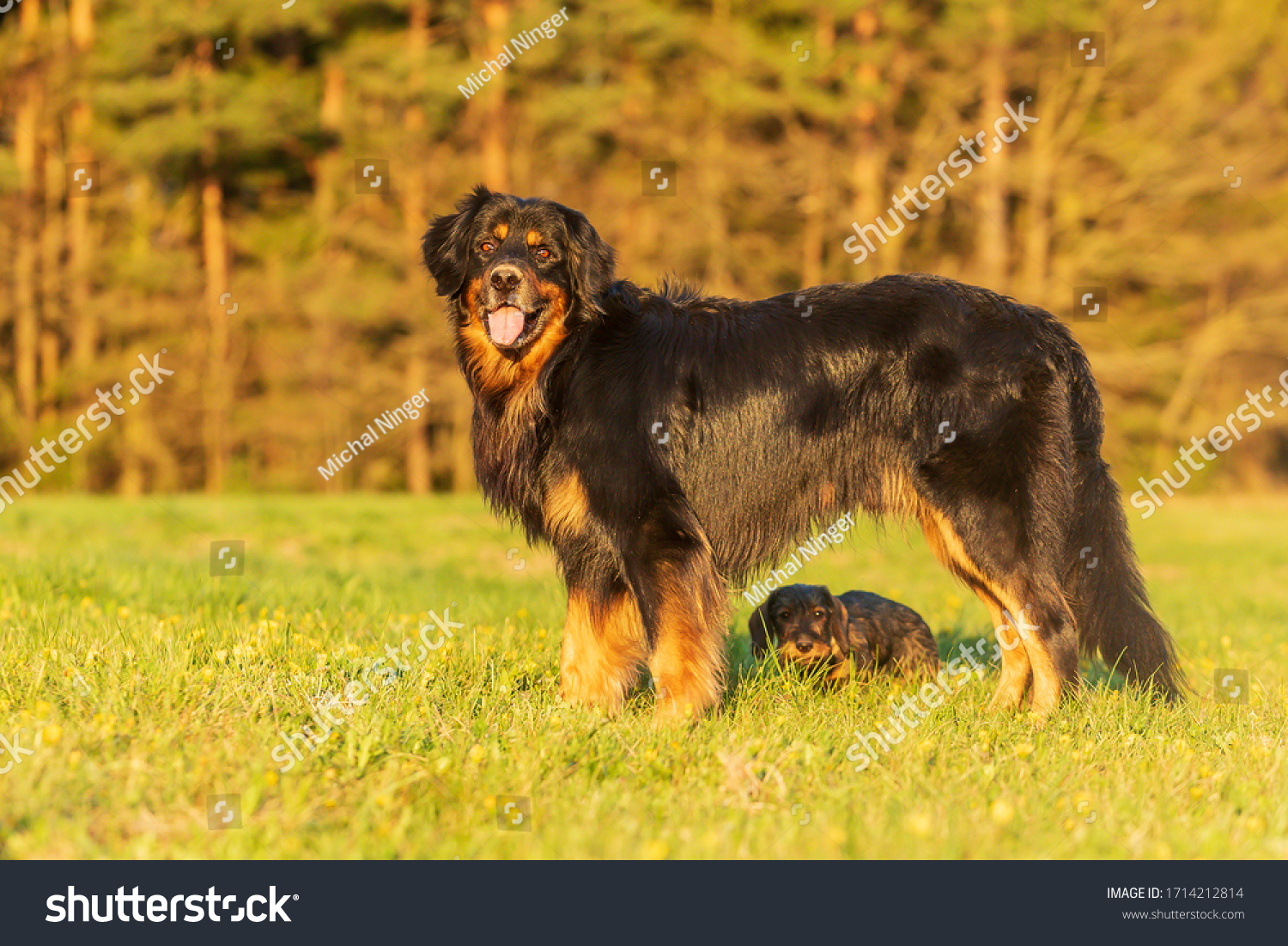 stock-photo-male-hovawart-and-puppy-wire