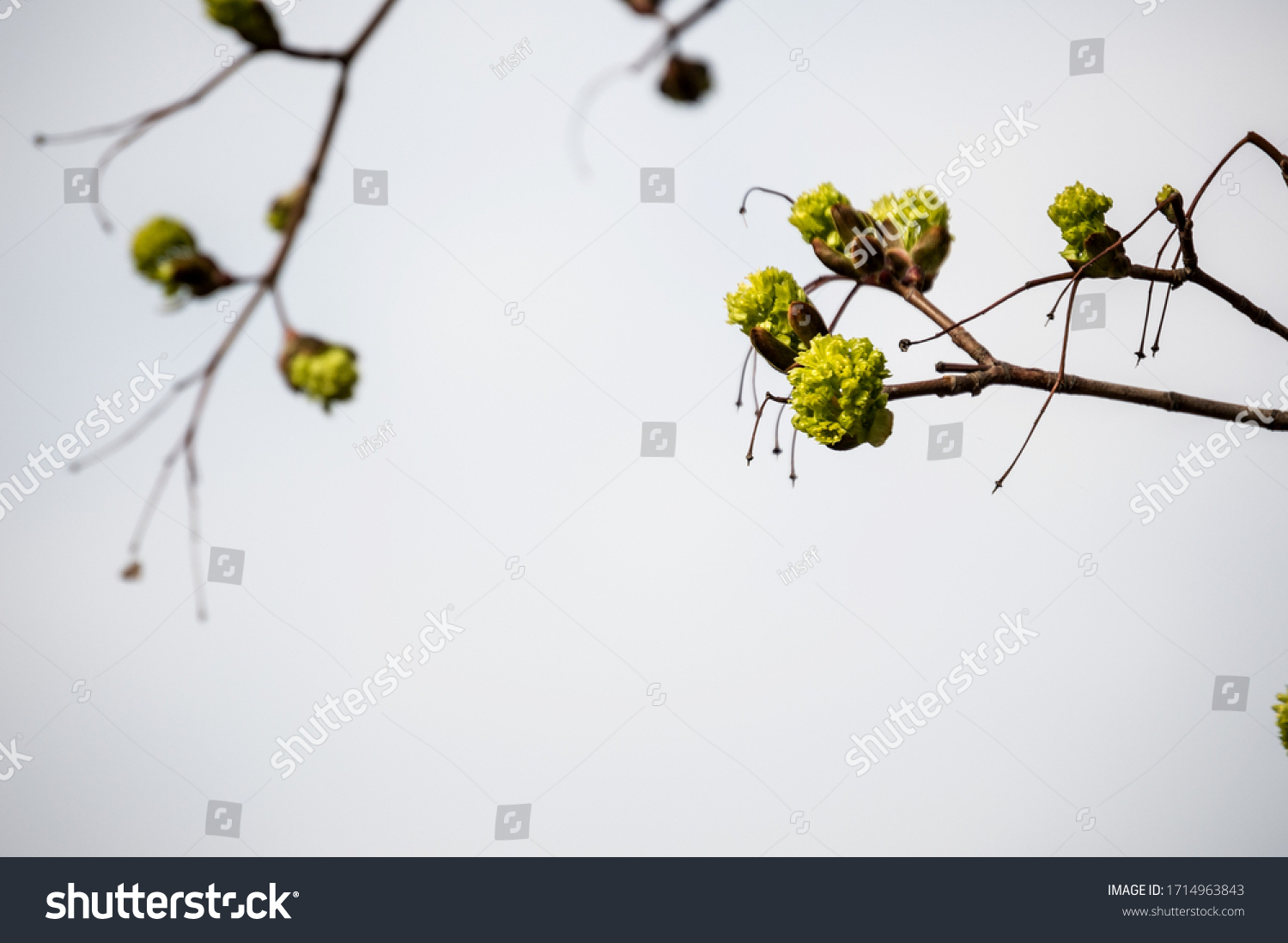 stock-photo-fresh-maple-buds-on-branches