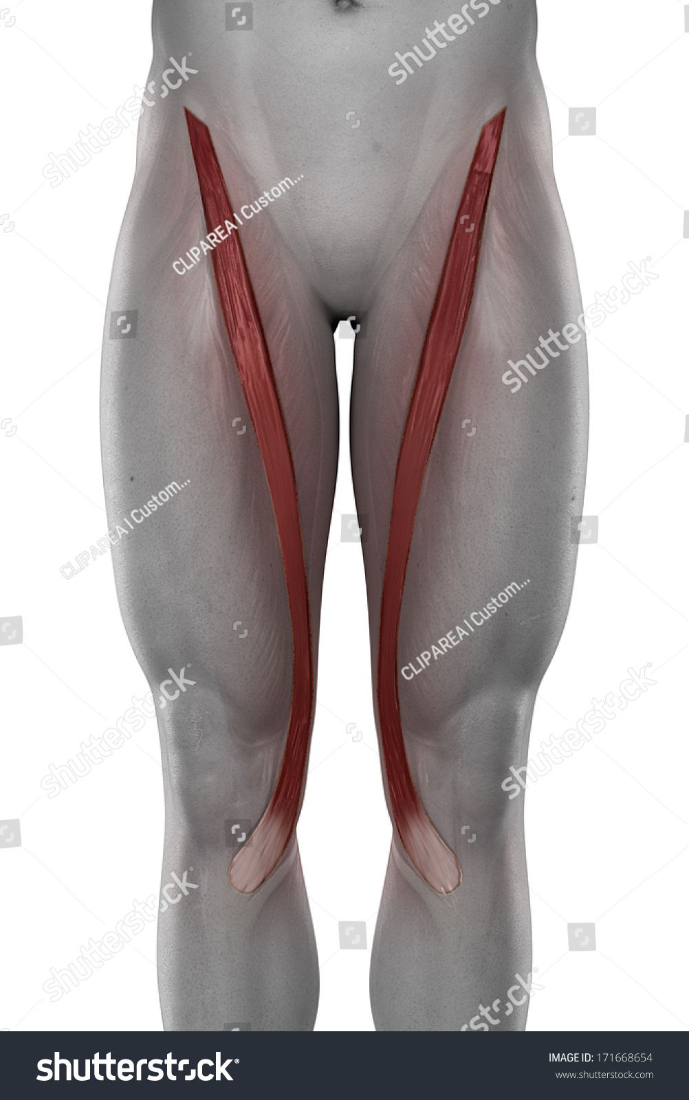 Sartorius Male Muscles Anatomy Anterior View Stock Illustration ...