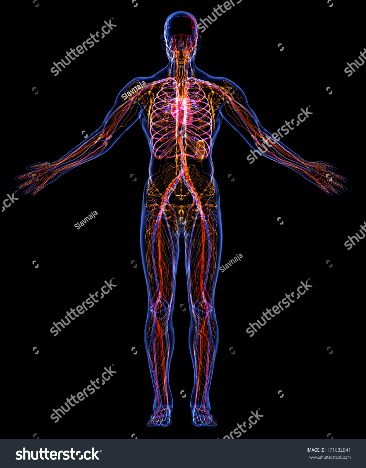 Contours Human Skin Human Lymphatic System Stock Illustration