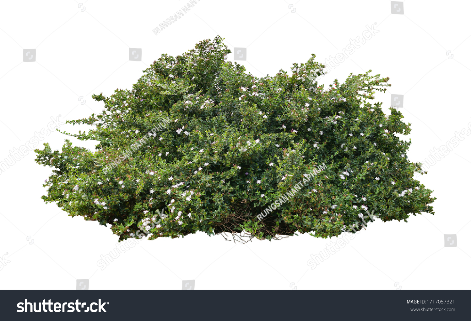 Tropical plant flower bush tree isolated on white background with clipping path #1717057321