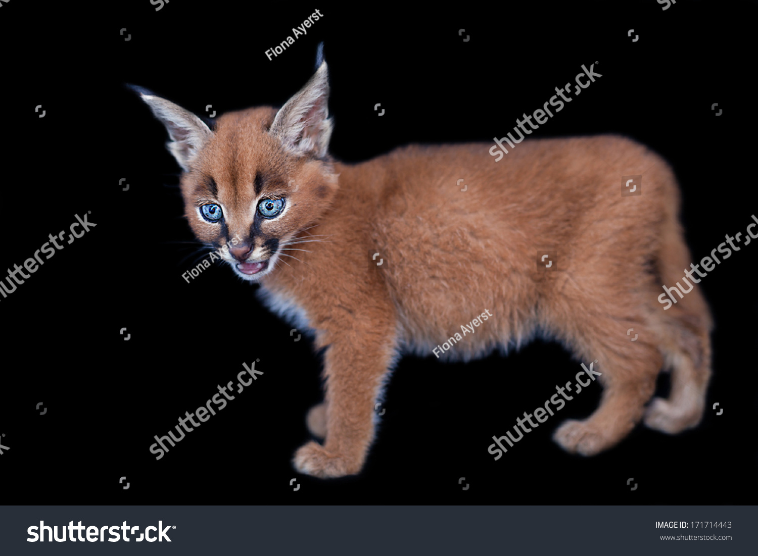 Baby Caracal Stock Photo 171714443 - Shutterstock