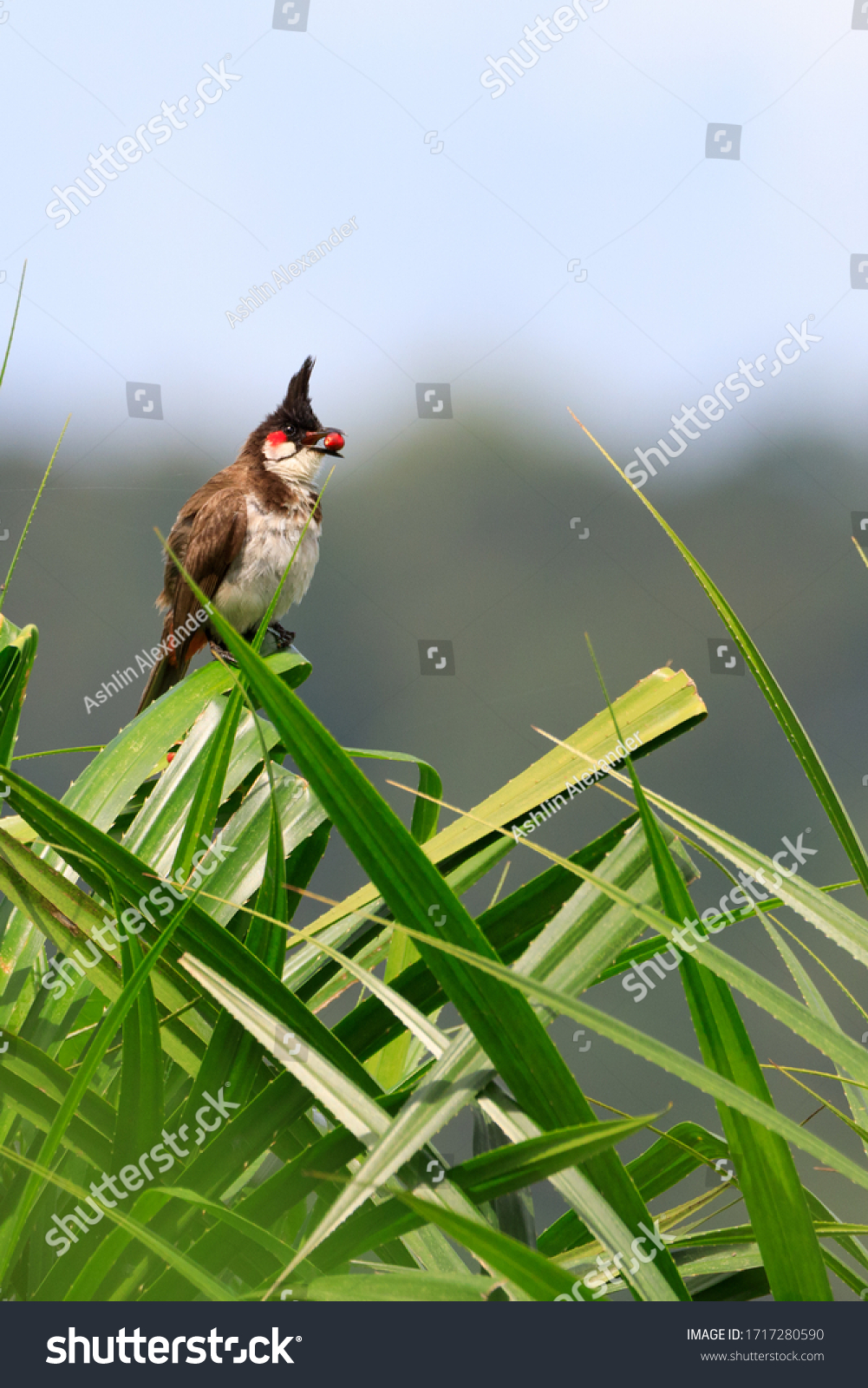 Stock Photos of red whiskered bulbul