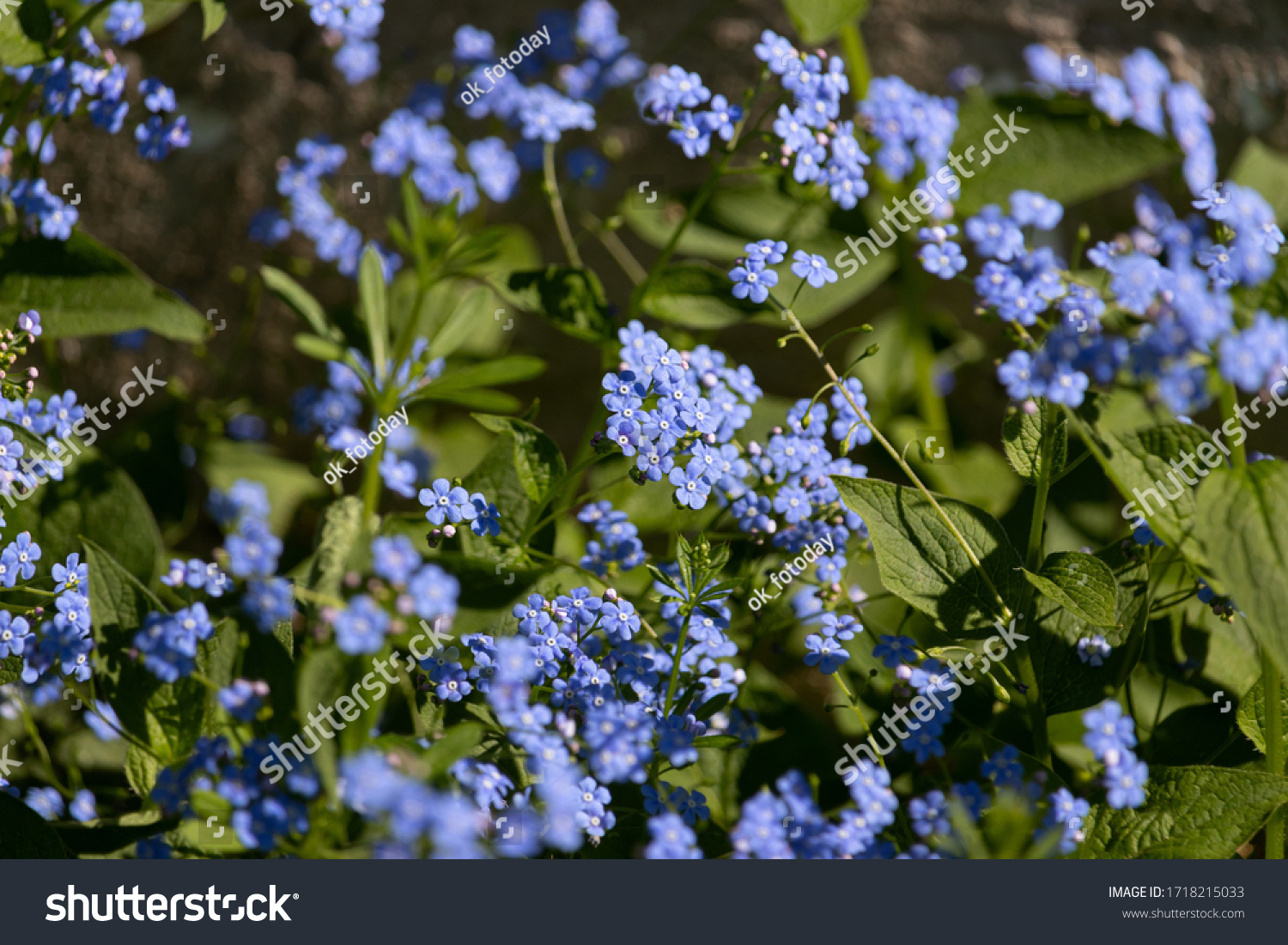 Beautiful floral background with blue flowers of Siberian forget-me-not