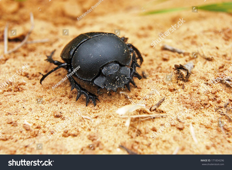 Large Black Beetle Stock Photo (Edit Now) 171834296
