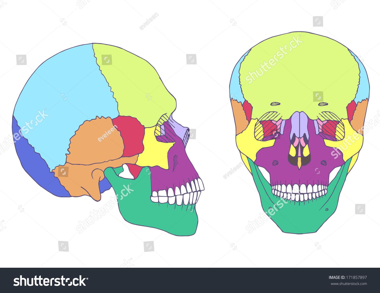Human Skull Anatomy Medical Illustration Front Stock Vector Royalty