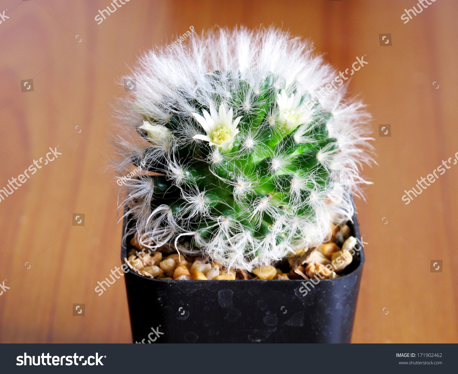 small cactus flower pot on wooden stock photo 171902462 shutterstock