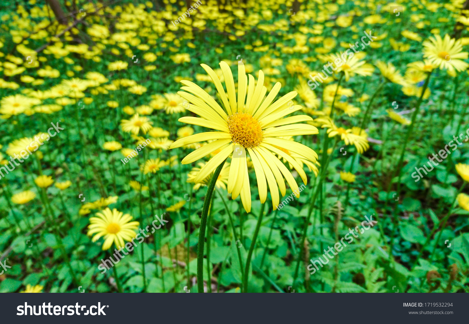 stock-photo-leopard-s-bane-doronicum-pla