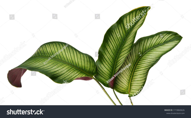 Calathea ornata leaves(Pin-stripe Calathea),Tropical foliage isolated on white background. #1719860626