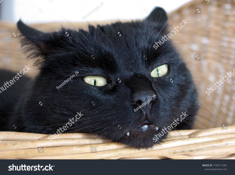 Portrait of a black cat. Black cat eyes in detail