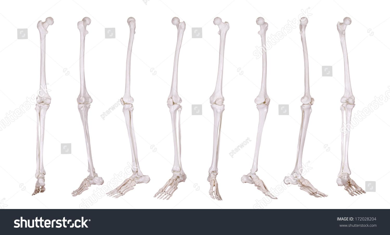 Detail Skeleton Leg Stock Photo Royalty Free 172028204 Shutterstock