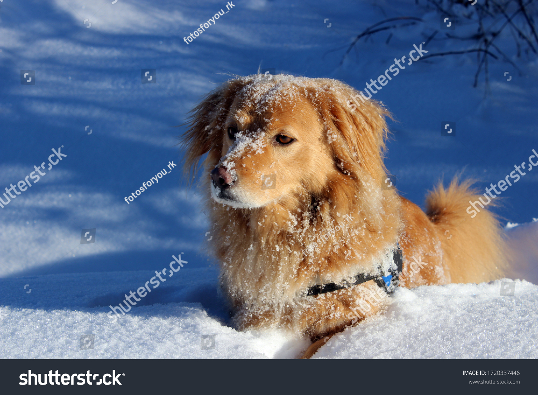 Hund liegt im Schnee und hat Spaß