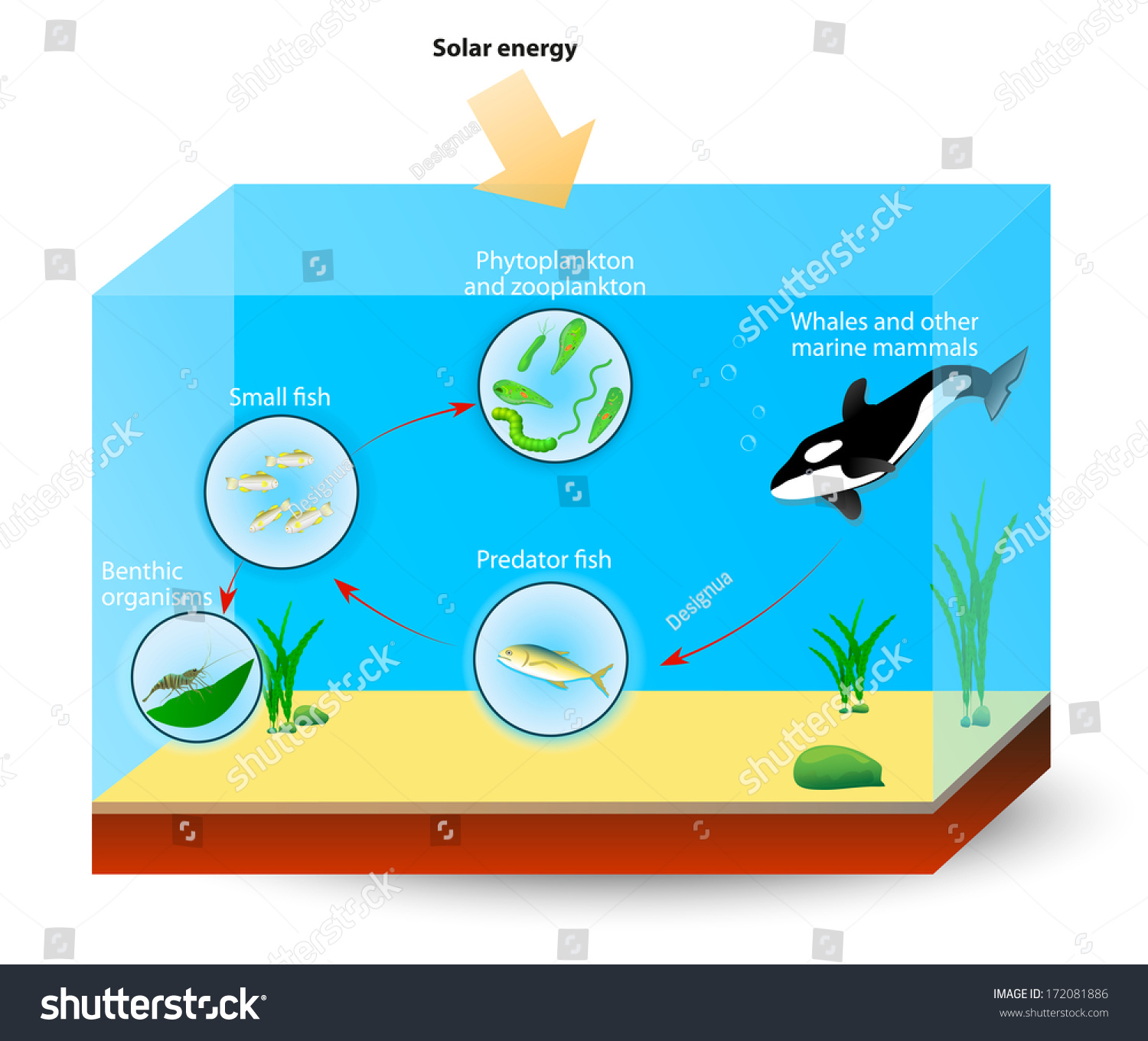 stock photo simple marine food web the diagram shows the relationships among organisms living in an ocean 172081886 simple ocean diagram diagram of ocean to ocean with a caption  at edmiracle.co