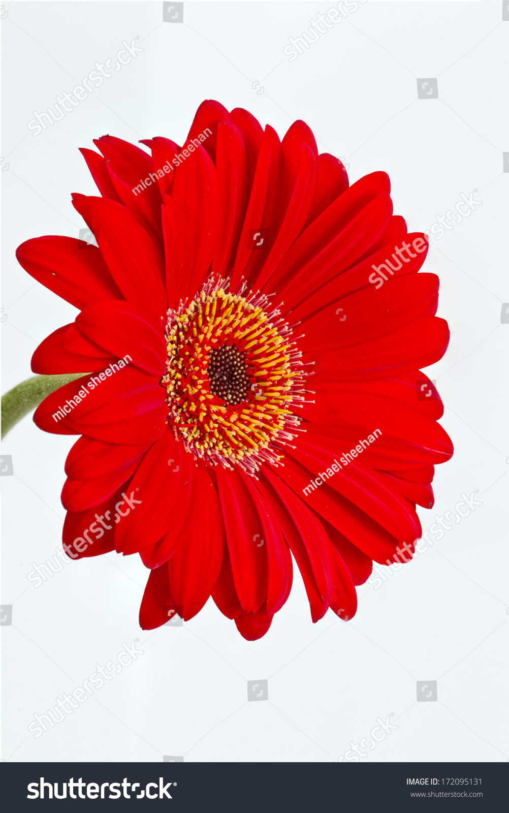 Single Red Gerbera Daisy Flower Isolated On A White Background Ez