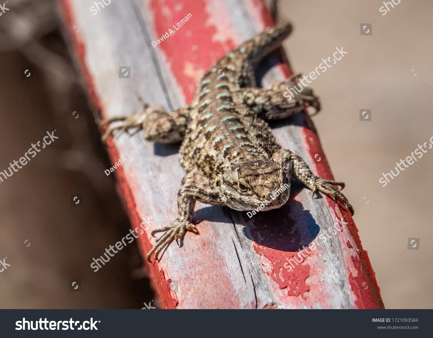 """A male Western Fence Lizard (Sceloporus occidentalis) suns itself on a top of fence in Monterey, California.  It is commonly known as the """"Blue Belly"""" lizard."""